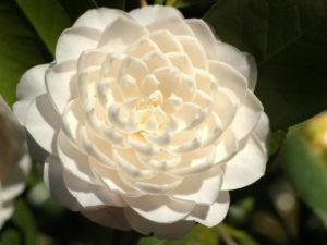 seafoam Camellia
